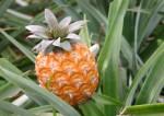 ananas-top
