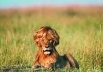 lion-top
