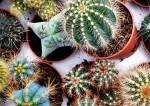 cactus-top